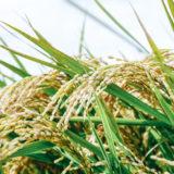 米農家は問屋にいくらで米を売っているの?2019年版